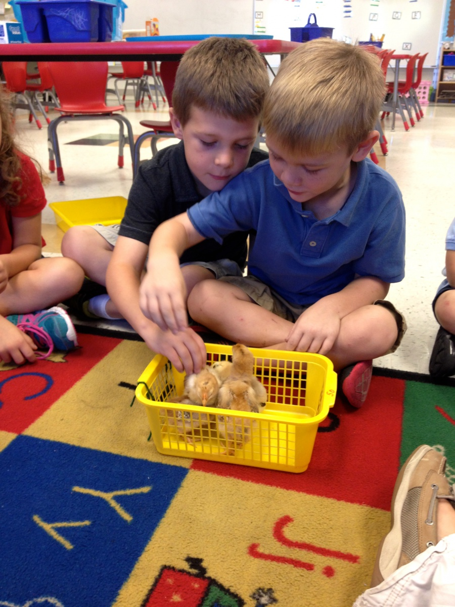 Chicks in Kindergarten!